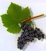 syrah grape