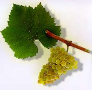 chardonnay_grape